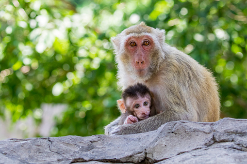Why Do Monkeys Steal Other Monkeys Babies?