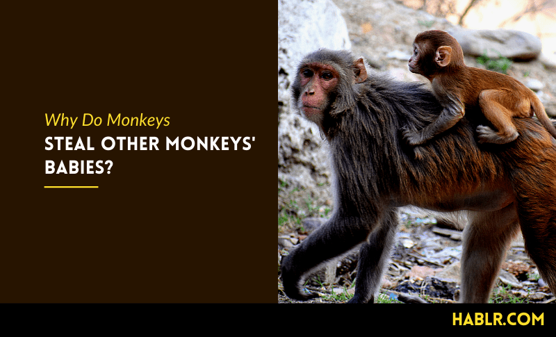 Why Do Monkeys Steal Other Monkeys Babies