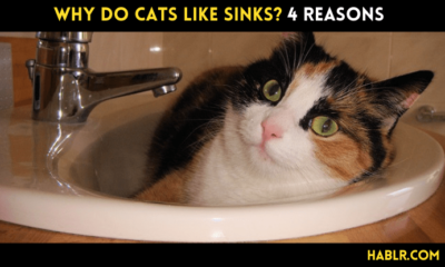 Why Do Cats Like Sinks?